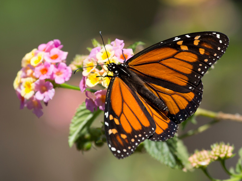 Notice the furry back of a monarch.