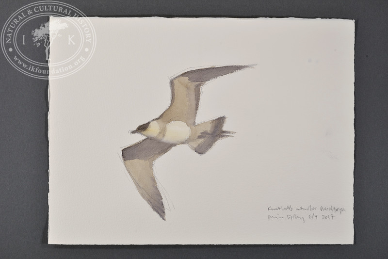 "Arctic skua near Midtöya, Svalbard | 6.9.2017 |  ""I want to convey what I see with immediacy and simplicity to make the viewer feel present on the Arctic scene."" 