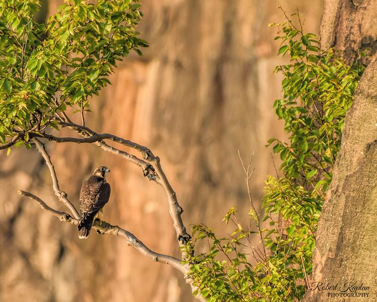 Peregrine falcon-0421.jpg