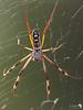 Golden Orb Spider 2