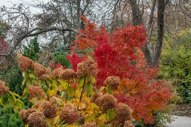 Hydrangea backed by Japanese maple