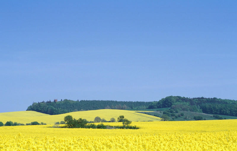 Rapeseed in Schleswig-Holstein, Germany