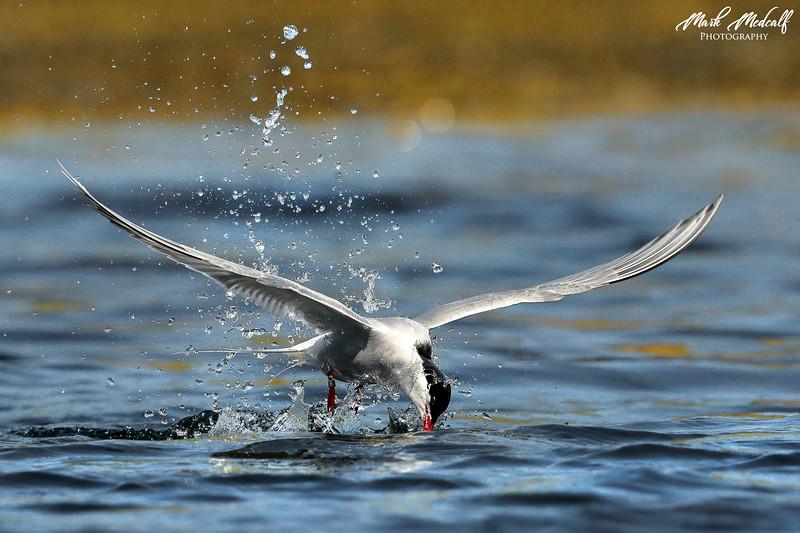 Arctic Tern Dip