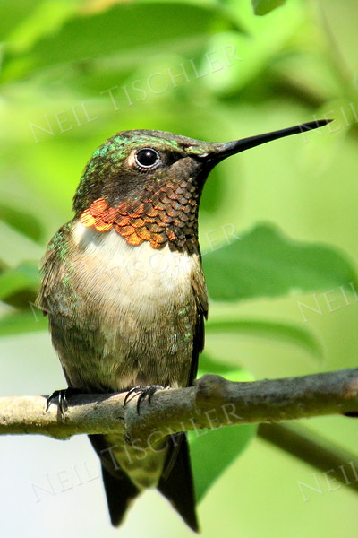 #1090  A mature male Ruby throated hummingbird