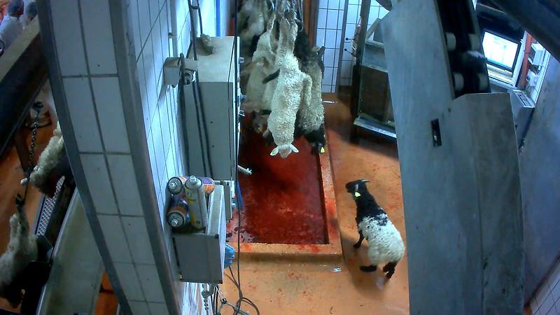 agneaux-chaine-abattage-abattoir-mauleon-04.jpg