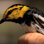 editorial-warbler-should-be-delisted-as-an-endangered-species