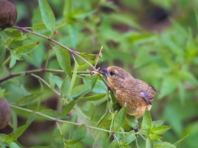 A Bumper Crop of Lesser Gold Finches