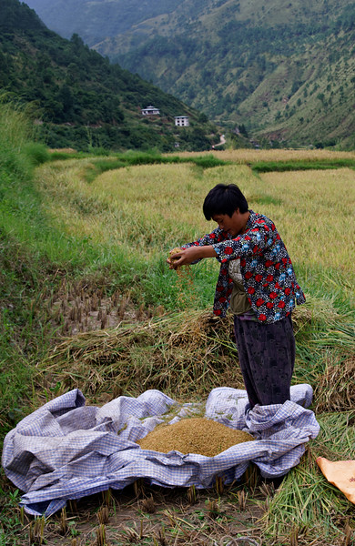 Red rice harvest