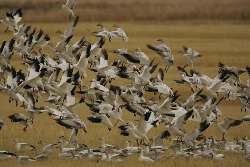 Snow Geese in the Tulelake National Wildlife Refuge in northern California