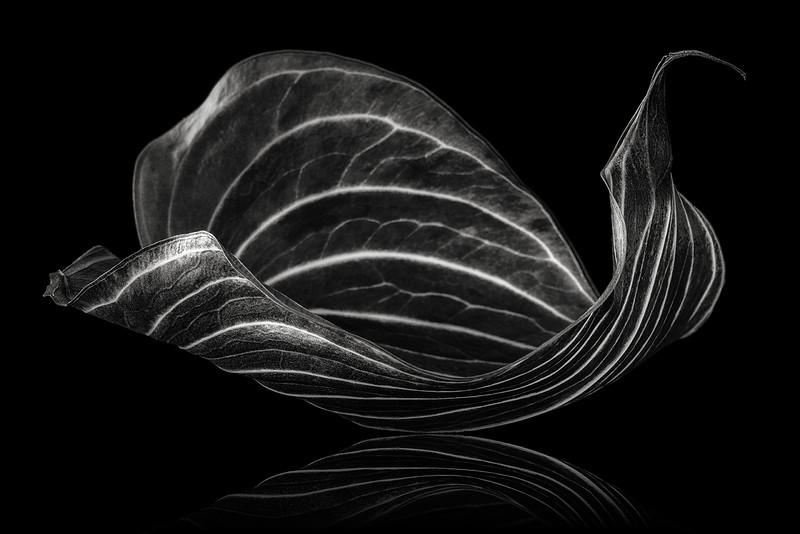 anthurium-safari-03.jpg