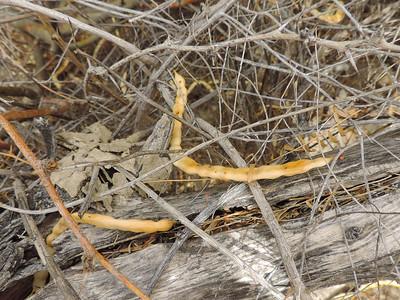 Honey Mesquite (Prosopis glandulosa)