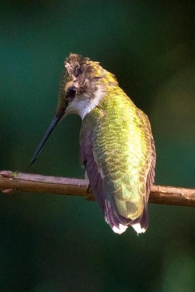 hummingbirdsittingonastick.jpg