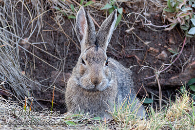 Nutalls Cottontail 09-24-2020