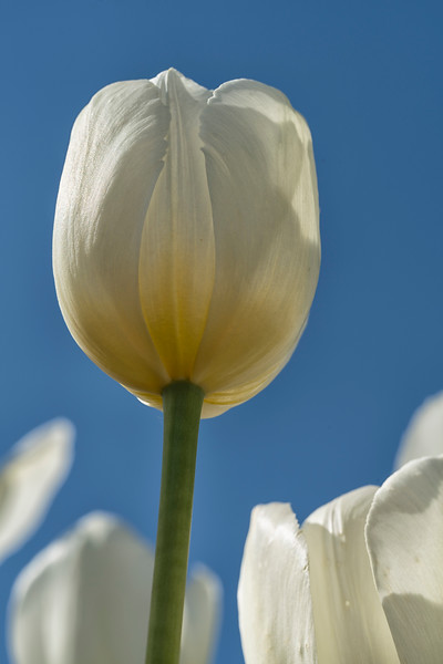 Single White Wicked Tulip_7934