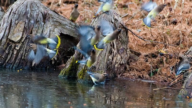 Cedar Waxwing Flock (Repaired)