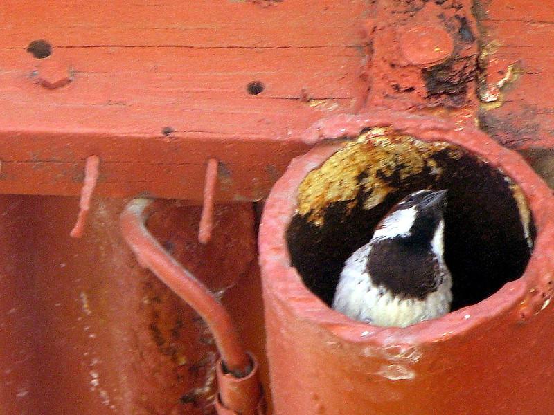Bird In A Pipe.jpg