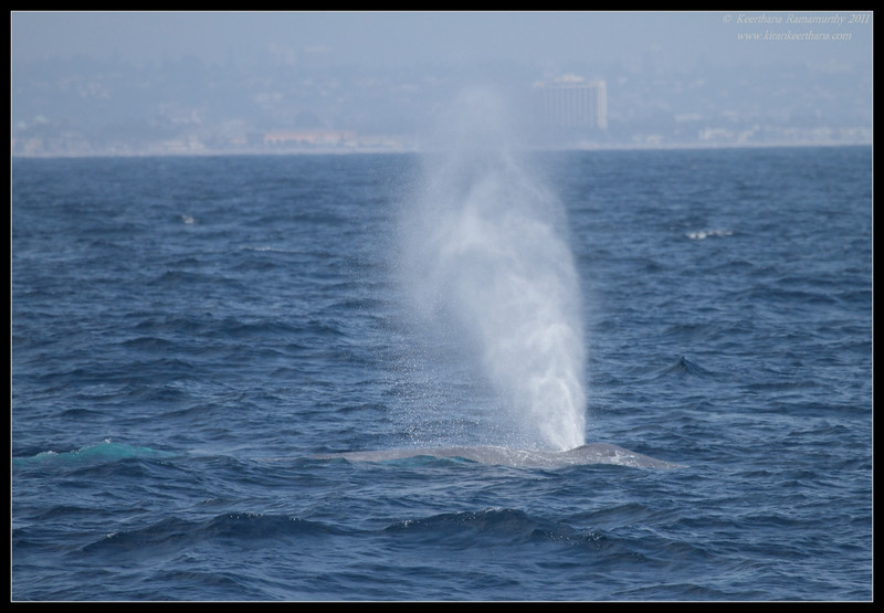 Blue Whale spout (can reach up to 42 feet height), Whale watching trip, San Diego County, California, July 2011
