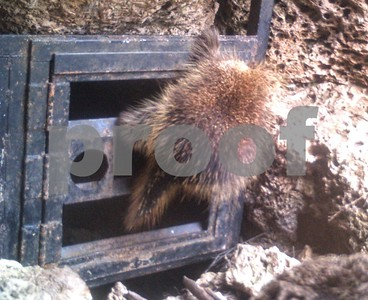 research-reveals-porcupines-prominent-in-many-south-central-texas-caves