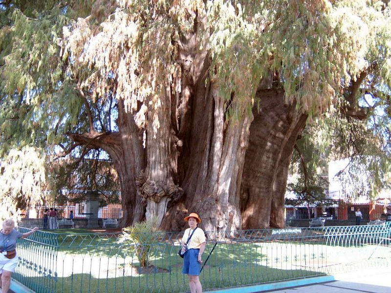 Mexico-Tule-Tree08.jpg
