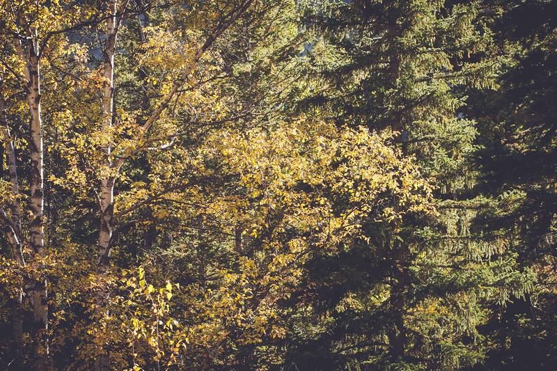 Birch & Pine