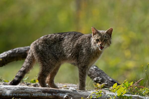 Wilde kat Felis silvestris Wildcat Chat sauvage Wildkatze