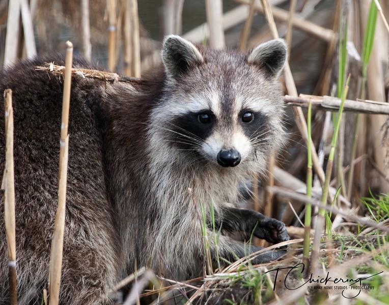 Raccoon in Reeds-1505695786914.jpg