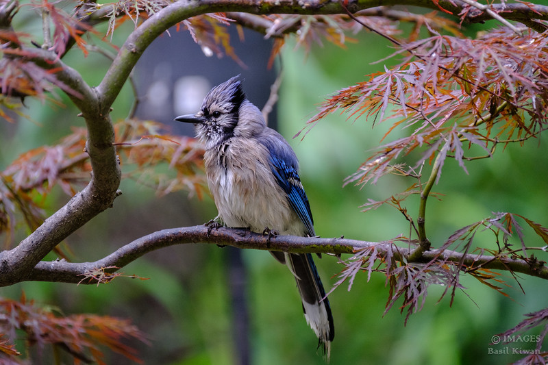 Blue Jay Perched in Japanese Maple