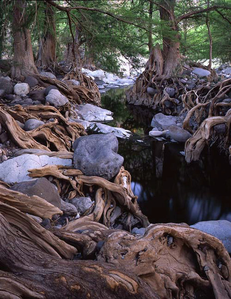 Sierra Alamos, Tropical, MEX/deciduous forest, Sabinos (Taxodium mucrunatum) with tangled roots line the banks of the Rio Cuchujaqui. 491v