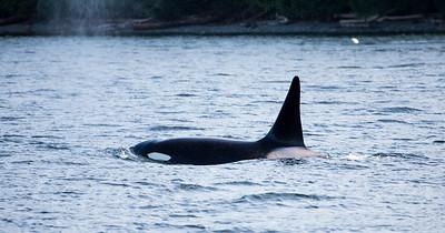 2016 May San Juan Orcas