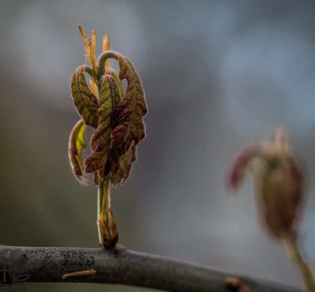 Tree leaves unfurling