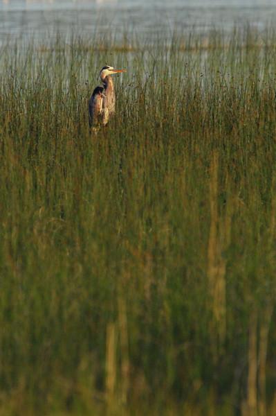 Great Blue Heron on duty.