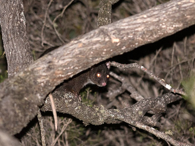 Western Ring-tailed Possum
