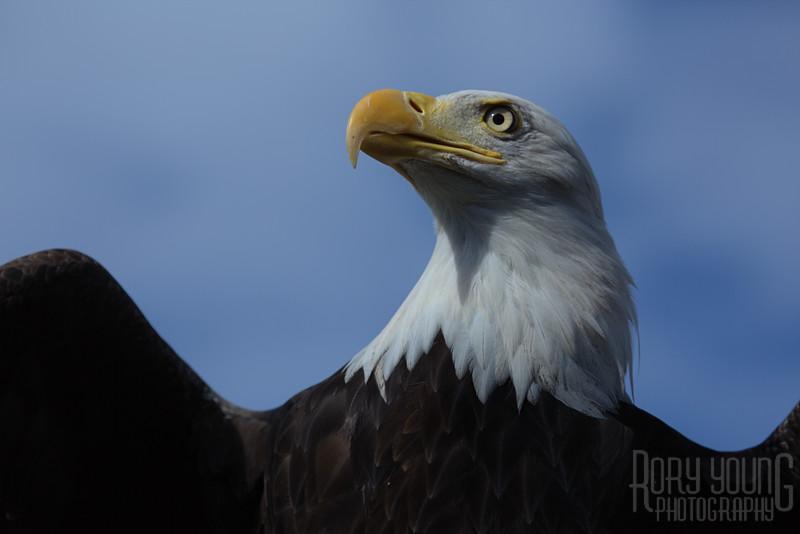 Eagle-Large.jpg