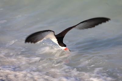 Black  skimmer/ Lido Beach