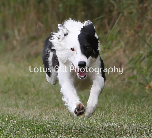 Black Bi Border Collie