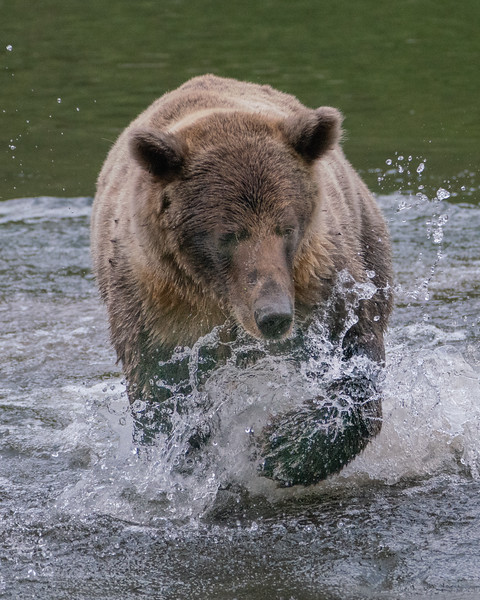 BC-Grizzly-Bears-00846.jpg