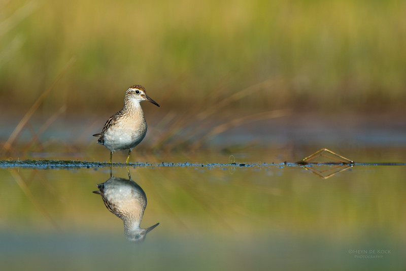 Sharp-tailed Sandpiper, Lake Wollumboola, NSW, Nov 2014-1.jpg