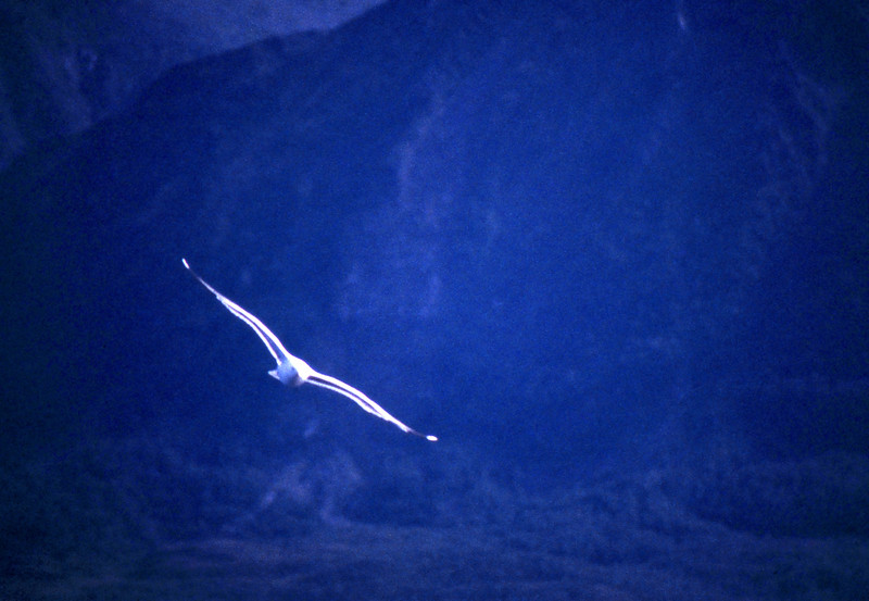 Seagull - Lofoten Islands, Norway - August 1989