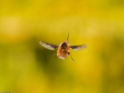 Bee Flies (Bombylius major)