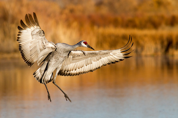 Birds of Bosque del Apache NWR