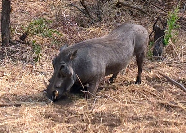 and warthogs who move around on bended knees when foraging.