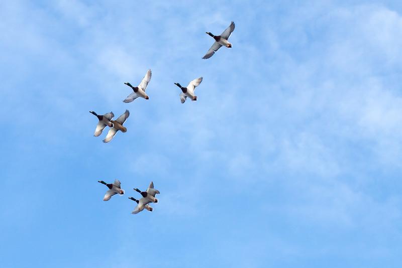 Duck Incoming 2627.jpg