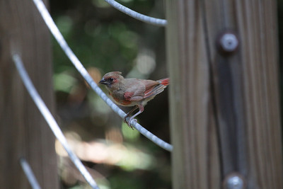 Cardinal Babies