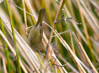 Warblers and Songbirds