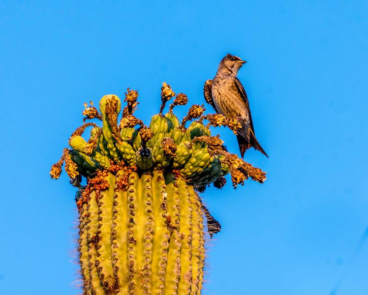 Female Purple Martin on Saguaro Cactus