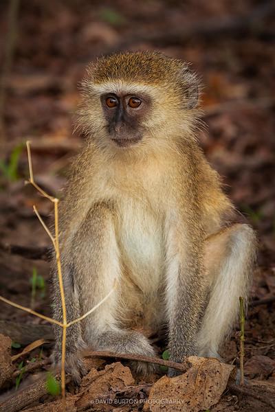 Mfuwe_monkey_7427cc2fx-web.jpg
