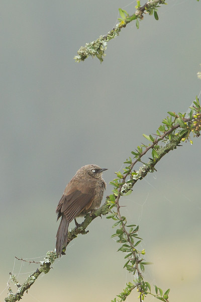Black-lored Babbler