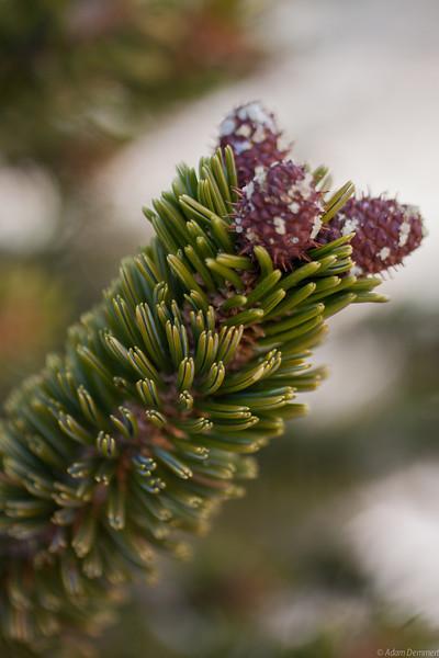 Baby pine cones on White Mountain