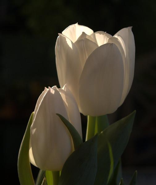 4N Tulips.jpg