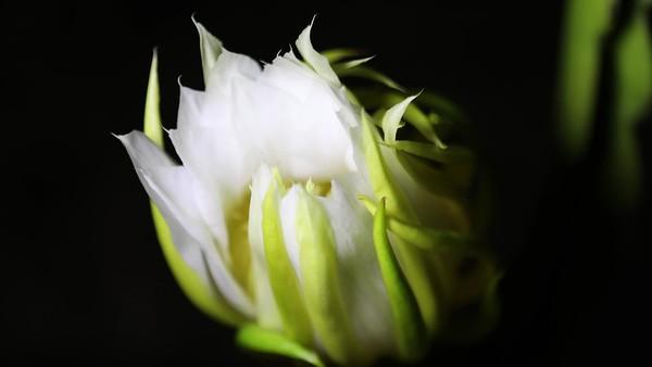 Dragon fruit flowering (Pitaya)